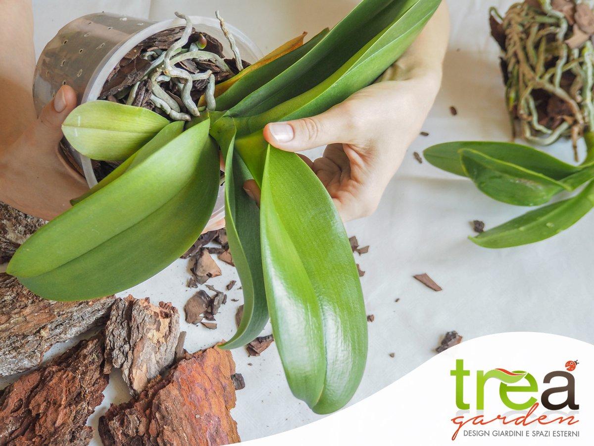 moltiplicazione delle orchidee