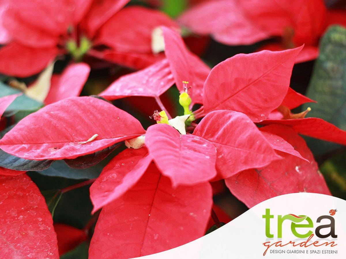 La Stella Di Natale Come Curarla.Stella Di Natale Come Curarla Trea Blog Giardinaggio