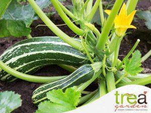 trapianti-zucchine e cicorie trea blog giardinaggio