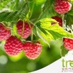 lamponi ribes e mirtilli frutti estivi selvatici per treA garden e pet store