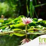 ninfea sull'acqua di un laghetto per piante acquatiche e come coltivarle