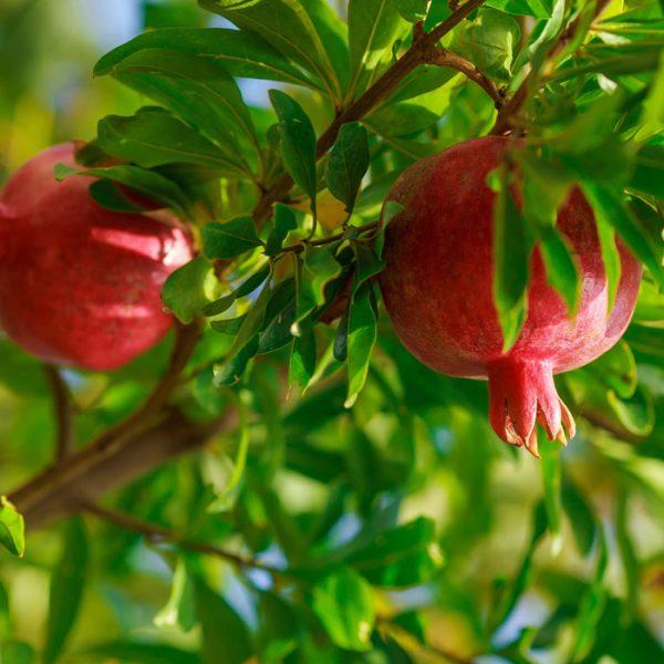 melograno da frutto